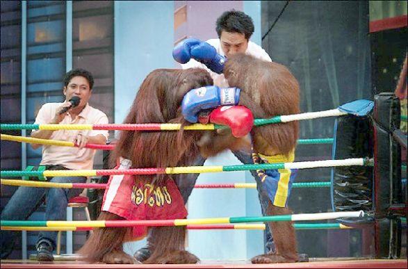 Орангутанги Бангкока вышли на ринг