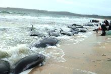 74 дельфина-гринд выбросились на пляже Новой Зеландии