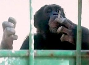 В Ливане спасли шимпанзе-курильщика Омегу