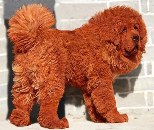 Тибетский мастиф Hong Dong стал самой дорогой собакой в мире за ,5 млн