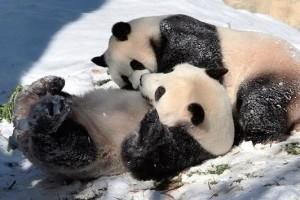 В Китае панд спасли Ледовым парком