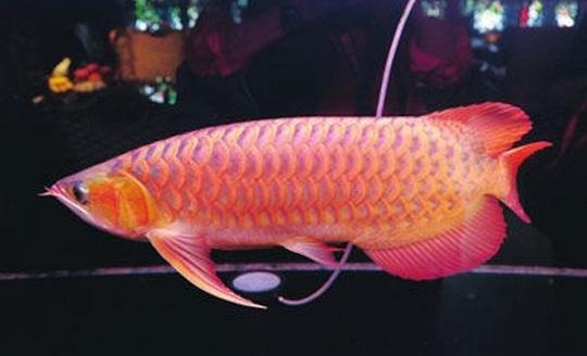 В Китае продают редкую рыбку за ,440