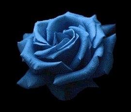 Синяя роза APPLAUSE из Японии