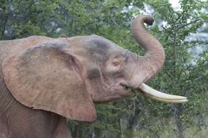 Розовый слон существует