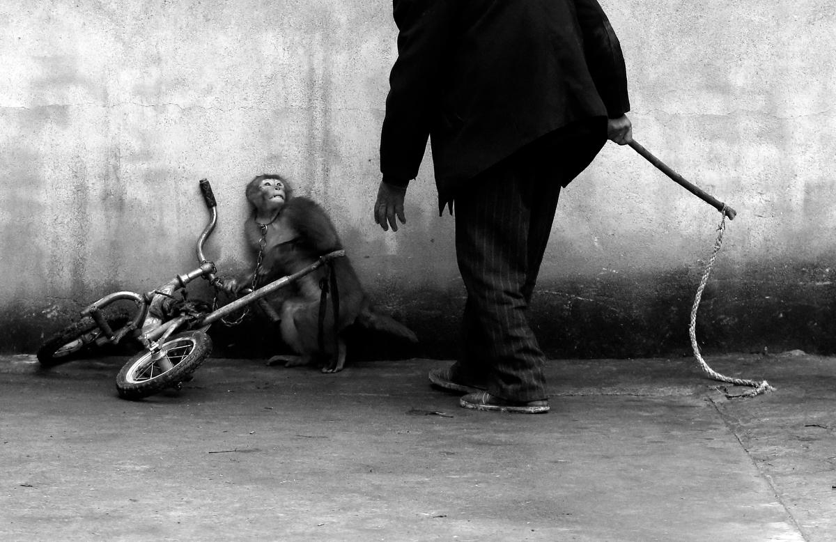 Природа - Обезьянку тренируют в цирке - Йонгжи Чу, Китай.