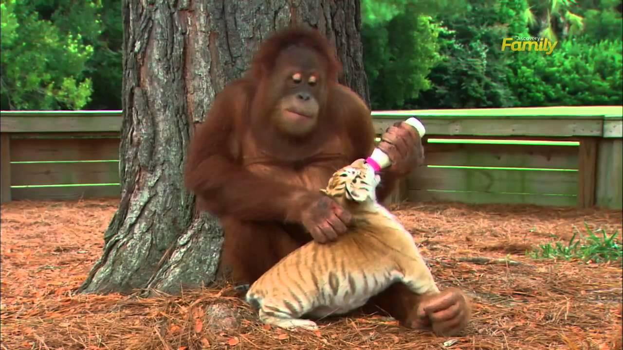 orangetan and tiger